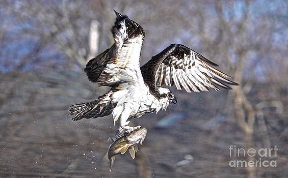 Osprey with Walleye Fish by Skye Ryan-Evans
