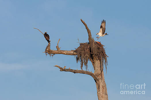 Paul Rebmann - Ospreys and Nest