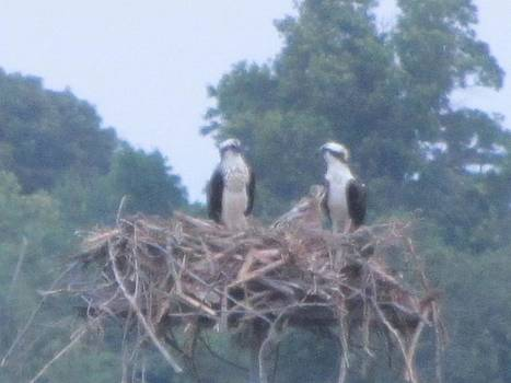 Osprey's Chatting on the Chesapeake Bay by Debbie Nester