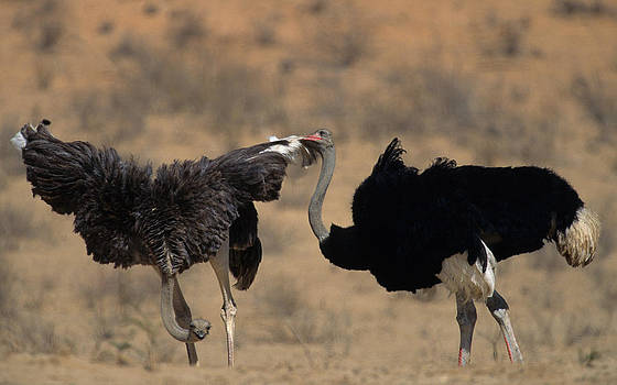 Ostrich Courtship by Nigel Dennis