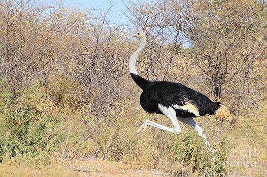 Hermanus A Alberts - Ostrich Run