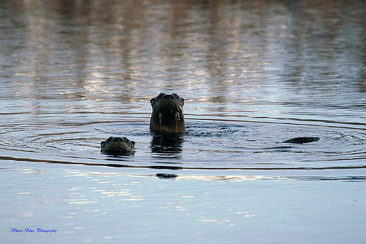 Otter Curiosity by Ed Nicholles