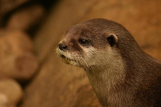 Otter by Gillian Dernie