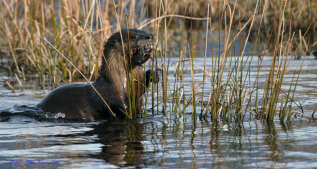 Otter With Catfish 2 by Ed Nicholles