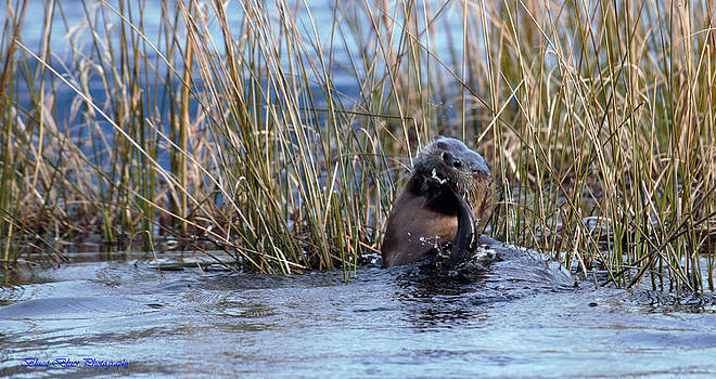 Otter With Catfish 3 by Ed Nicholles