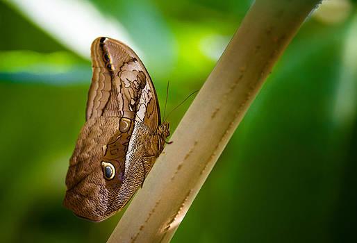 Owl Butterfly by Howard Weitzel