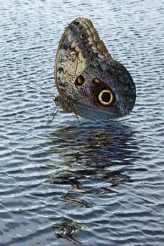 Jane McIlroy - Owl Butterfly on Water