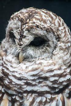 Gaurav Singh - Owl