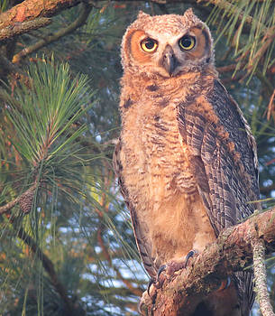 Owl Portrait by Kent Dunning