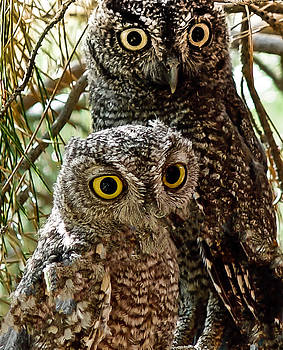 Owls from Amado Arizona by James Gordon Patterson