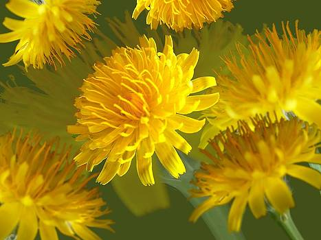 David Rich - Oxtongue Blossom Montage