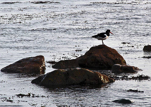 Oyster Catcher by Paul Howarth