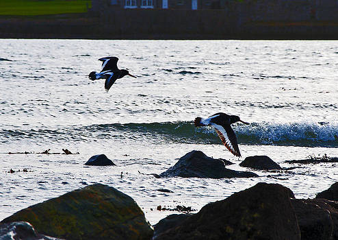 Oyster Catchers in Flight by Paul Howarth