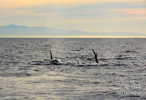Pacific Northwest Orcas by Gayle Swigart