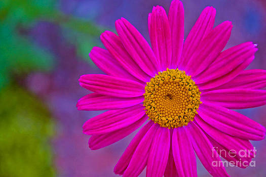Painted Daisy by Barbara Schultheis
