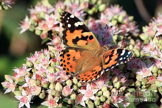 Teresa Zieba - Painted Lady Butterfly