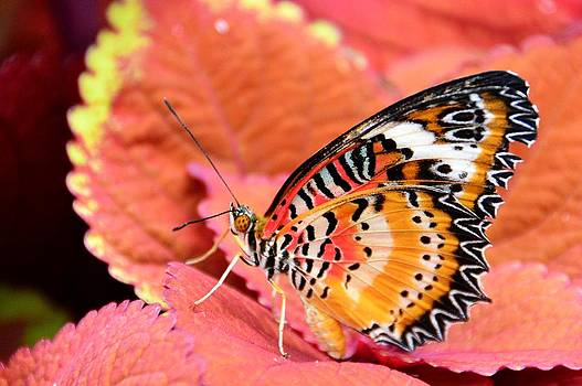 Painted Lady by David Earl Johnson