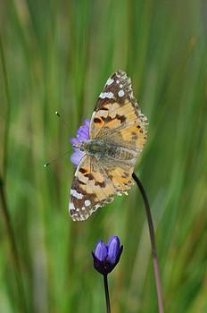 Painted Lady by Lawrence Pratt