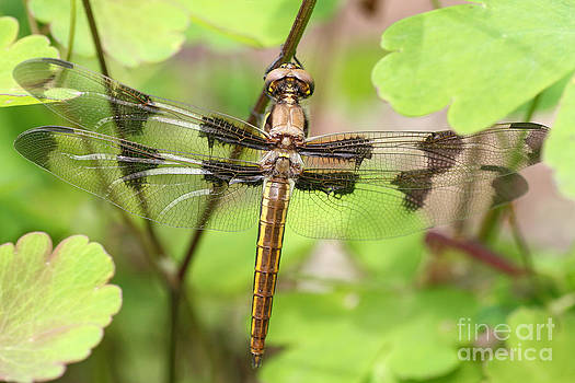 Painted Skimmer Dragonfly by Doris Dumrauf