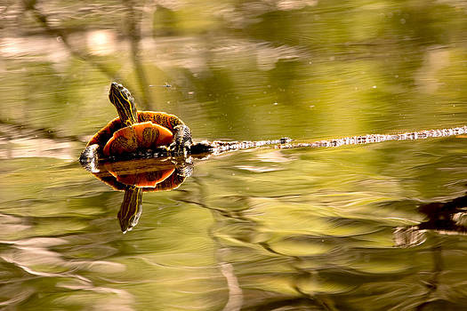 Peggy Collins - Painted Turtle