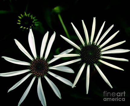 Pair of Cone Flowers in Black and White by Emilio Lovisa