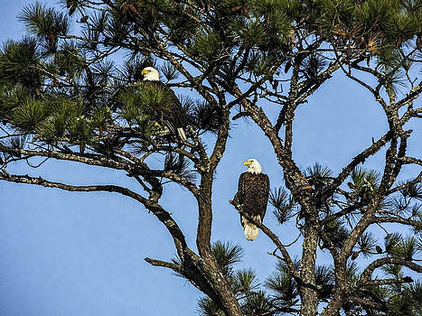 Terry Shoemaker - Pair of Eagles in a tree