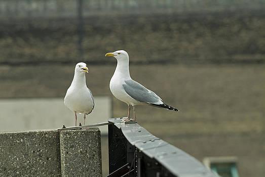 Devinder Sangha - Pair of Seagulls