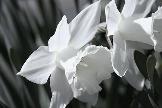 Robin Mahboeb - pale daffodils