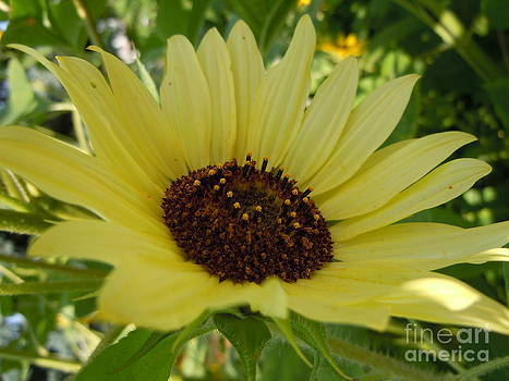 Pale Yellow Angled Sunflower by Sonya Chalmers