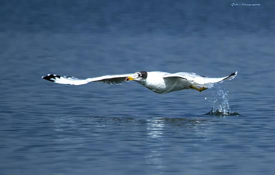 Pallas's Gull by Virag Yelegaonkar