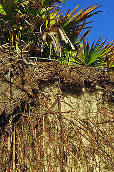 Palmettos and Roots on the Beach of Jekyll Island State Park by Bruce Gourley