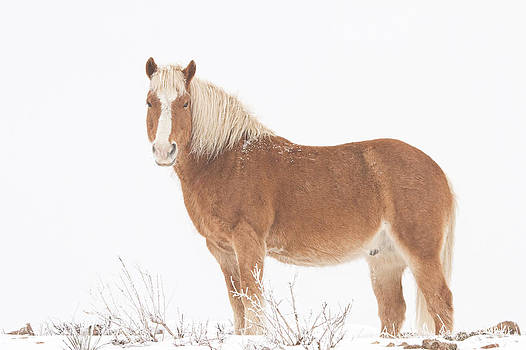 James BO  Insogna - Palomino Horse in the Snow