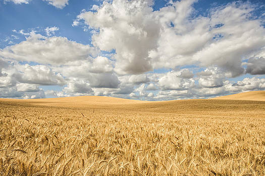 Palouse Wheat by Alex Isom