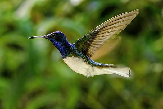 Panama Hummingbird by Rob Tullis