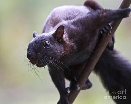 Heiko Koehrer-Wagner - Panamanian Tree Squirrel