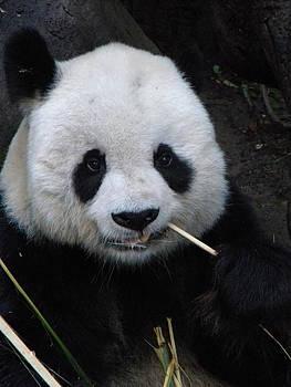Panda by Amanda Eberly-Kudamik