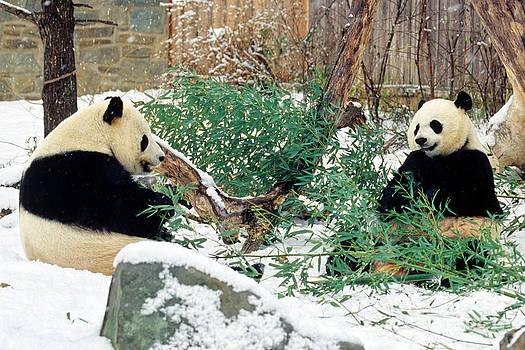 Panda Bears in Snow by Chris Scroggins