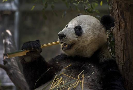 Panda Bliss by Michael Misciagno