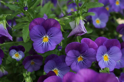 Pansies by James Hammen
