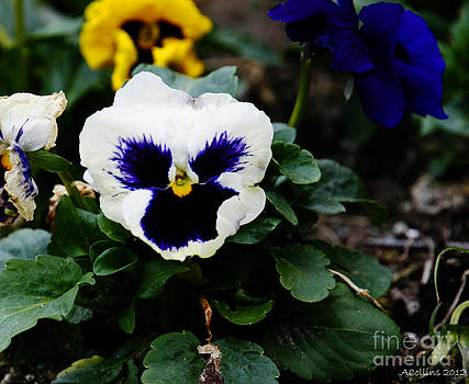 Amanda Collins - Pansies on a spring day...