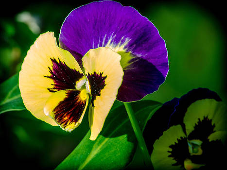 Pansies by Renee Barnes