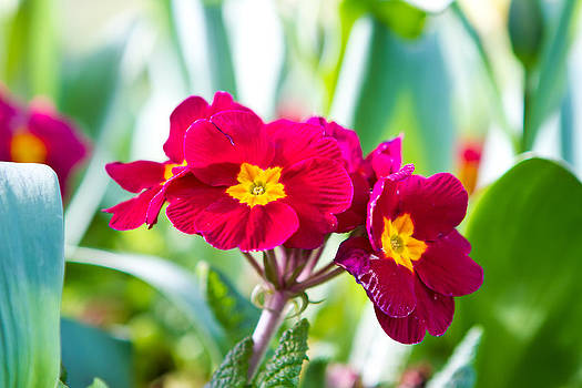 Fizzy Image - Pansy