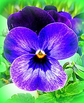 Pansy by The Creative Minds Art and Photography