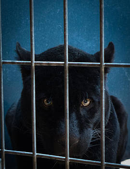 Panther by Pedro Nunez