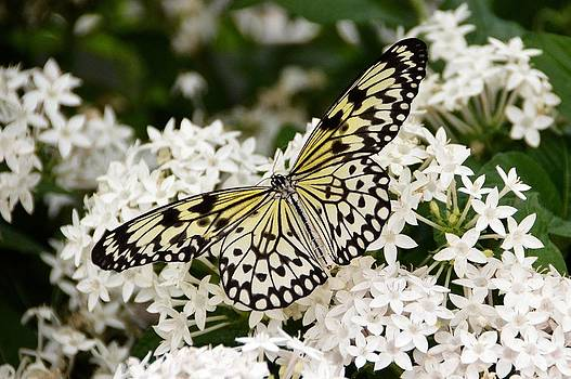 Paper Kite Butterfly frolicking in the flowers. by David Earl Johnson