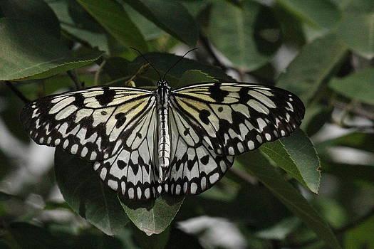 Rosanne Jordan - Paper Kite Butterfly