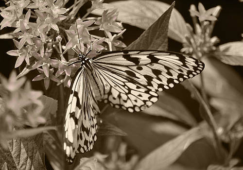 Paper Kite On Frangipani Flowers by Sandi OReilly