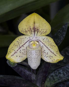 Paphiopedilum Concolor Orchid by Gerald Murray Photography