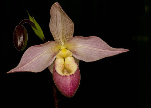 Paphiopedilum hybrid  by Gerald Murray Photography