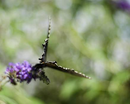Heather Applegate - Papilio troilus